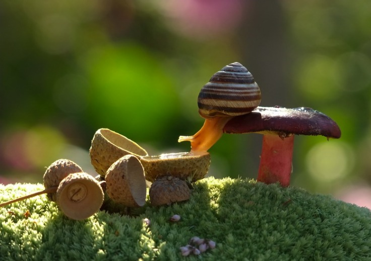 Snail-drinking-from-an-acorn